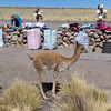 At a high pass we stopped for a break and a view over a lake. There were the inevitable sellers and this baby vicuna which is the smallest of the camelid group and are not domesticated, but this baby appeared to be a pet.