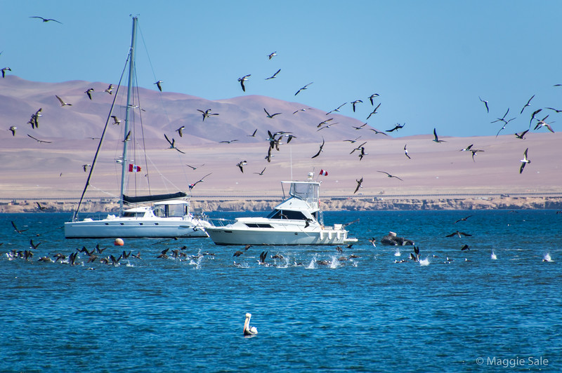 The harbour at Paracas in the desert south of Lima. The birds are a Peruvian type of gannet. This area is similar to the northern part of the Atacama desert in Chile.