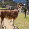 One of the resident llamas that wander around and help keep the grass short!