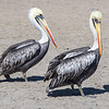 Two pelicans on the beach at Paracas.