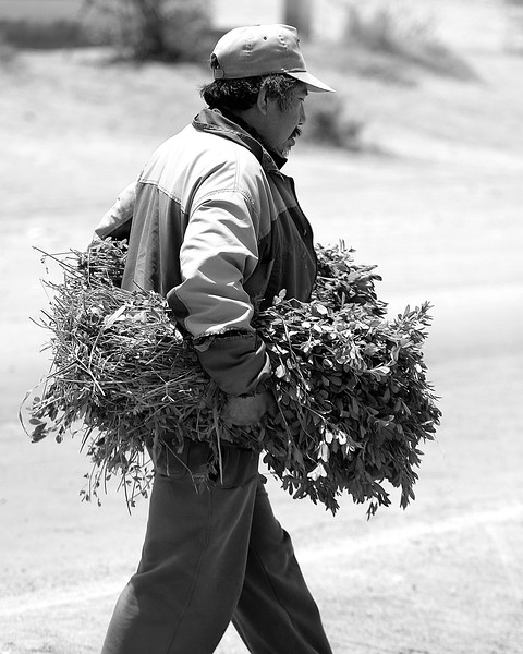Man delivers alfalfa Bella Union, Peru