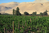 Grape vineyard for Pisco production - the national drink (spirit) of Peru - here along the Rio Moquequa Valley, at about 4,600 ft. (1,400 m), and surrounded by the desert habitat of the Cordillera Occidental Andes (western) - Mariscal Nieto province - Moquegua department.
