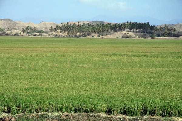 Across the paddy field of rice - to the grove of palm trees beyond - and the southern end of the Cerros Amotape beyond - Piura department.