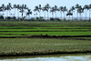 Paddy fields of rice among the palm trees - Piura department.