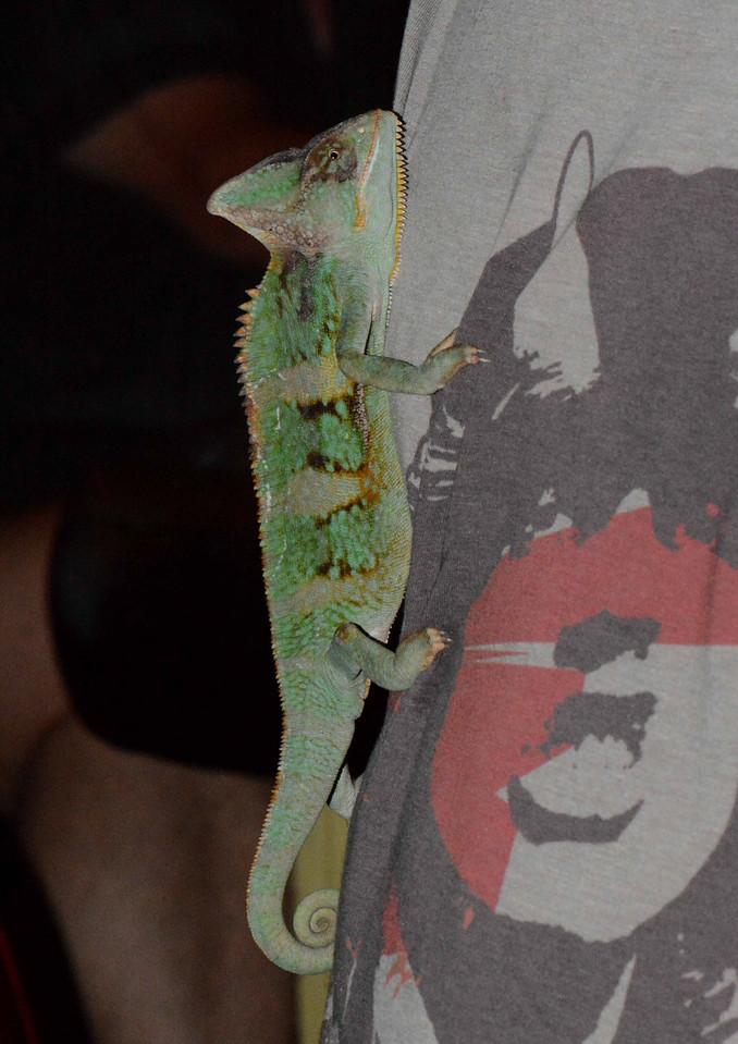 Booger<br /> <br /> Veiled Chameleon -- Chamaeleo calyptratus