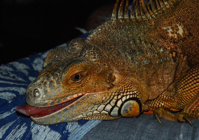 Baby<br /> <br /> Green Iguana (f) -- Iguana iguana
