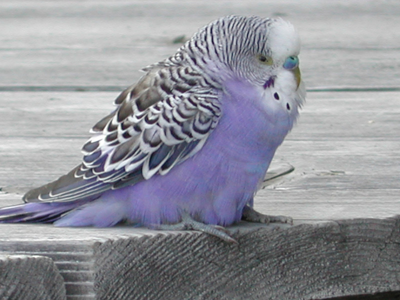 'Keep a green tree in your heart and perhaps a songbird will come.' ~ ancient Chinese proverb<br /> <br /> on a cold evening in June 2002 this male Budgerigar (Melopsittacus undulatus) arrived on our deck looking exhausted and followed us indoors...