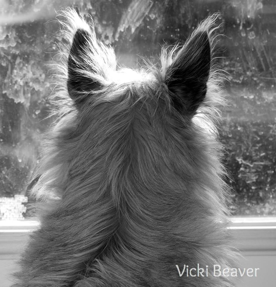 Tank, cairn terrier