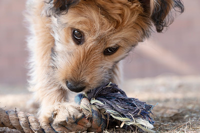Cute mixed breed poodle puppy chewing on an old rope dog toy