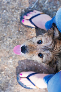 Cute mixed breed poodle puppy standing between legs of owner.
