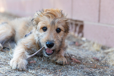 Cute pupy chewing on a stick
