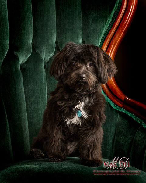 Black Puppy in chair