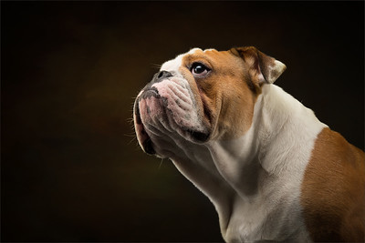 Professional photograph of a bulldog