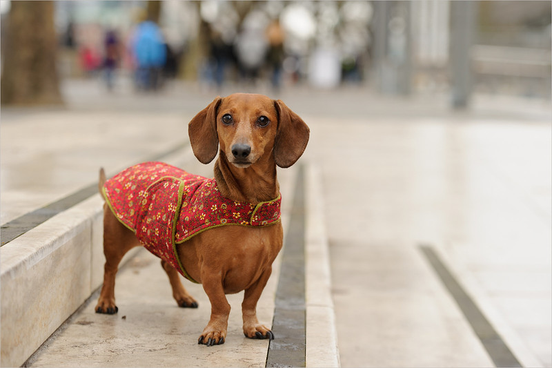 A dachshund in a decorative dog coat