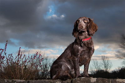 Coco the Cocker Spaniel - Hampshire dog photoshoot in Lymington