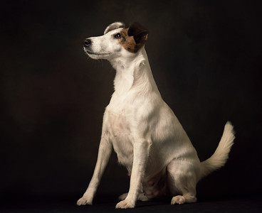 London dog photographer fox terrier photoshoot