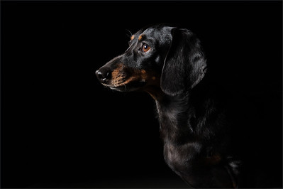 Dachshund photographed  by madaboutgreys