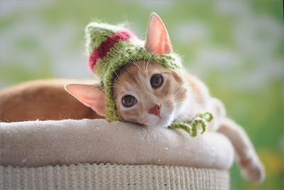 A cute Abysinnian kitten