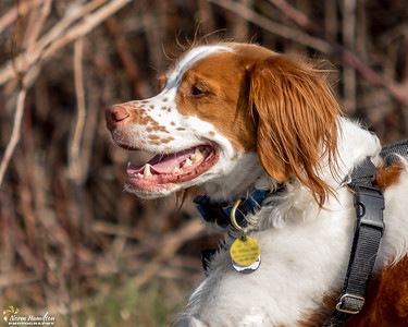 Brittany Spaniel at Cowichan River Estuary