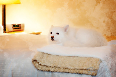 Close-up of an American Eskimo Dog named Chabby lounging on a bed ..... shot using Lensbaby with Edge 80 optic   © Copyright Hannah Pastrana Prieto