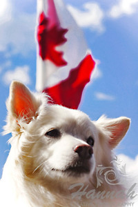 Close-up of an American Eskimo Dog named Chabby with the background of the Canadian flag...   Taken with Lensbaby Composer Pro & Edge 80 optic  © Copyright Hannah Pastrana Prieto