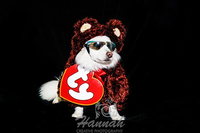 An American Eskimo Wearing a Beanie Babies Costume for Halloween