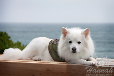 Close-up of an American Eskimo Dog named Chabby relaxing on a bench at the beach   © Copyright Hannah Pastrana Prieto