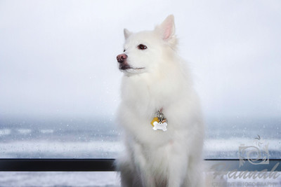 Close-up of a sitting American Eskimo Dog named Chabby   © Copyright Hannah Pastrana Prieto