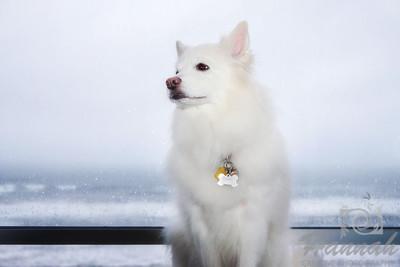 Close-up of a sitting American Eskimo Dog named Chabby   © Copyright Hannah Pastrana Prieto