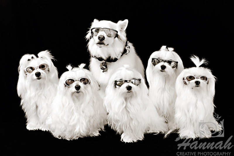 """""""Family of 5 Maltese and an American Eskimo"""""""