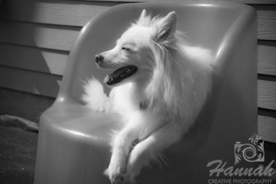 A monochrome shot of an American Eskimo Dog named Chabby relaxing on a chair on a very sunny day   © Copyright Hannah Pastrana Prieto