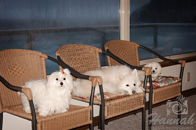 Close-up of a pair of Maltese and an American Eskimo  © Copyright Hannah Pastrana Prieto