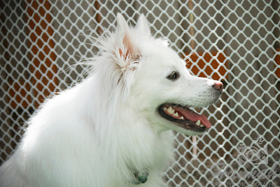 A side view portrait of an American Eskimo Dog named Chabby  © Copyright Hannah Pastrana Prieto