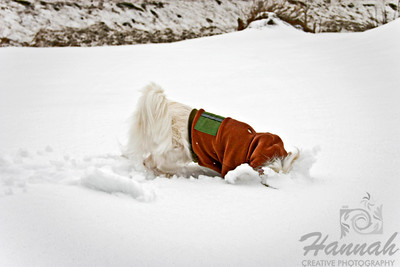 An American Eskimo Dog named Chabby putting his head in the snow digging and hunting for food  © Copyright Hannah Pastrana Prieto