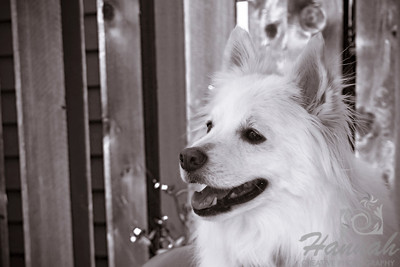 Close-up of an American Eskimo Dog named Chabby in monochrome  © Copyright Hannah Pastrana Prieto