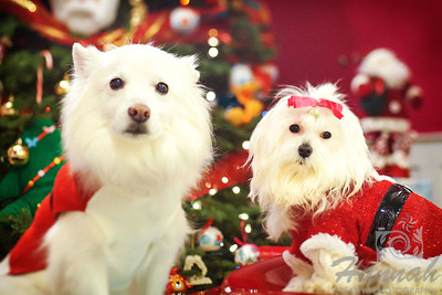 Close-up of a Maltese named Peaches and an American Eskimo dog named Chabby shot during Christmastime. ….. taken with the Lensbaby Composer Pro.  © Copyright Hannah Pastrana Prieto