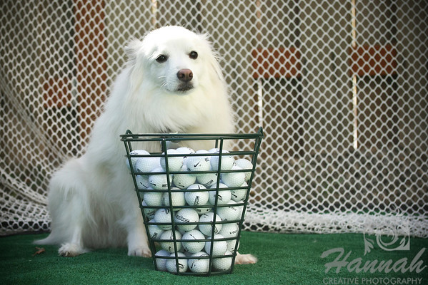 An American Eskimo Dog named Chabby with a basket of Golf Balls  © Copyright Hannah Pastrana Prieto