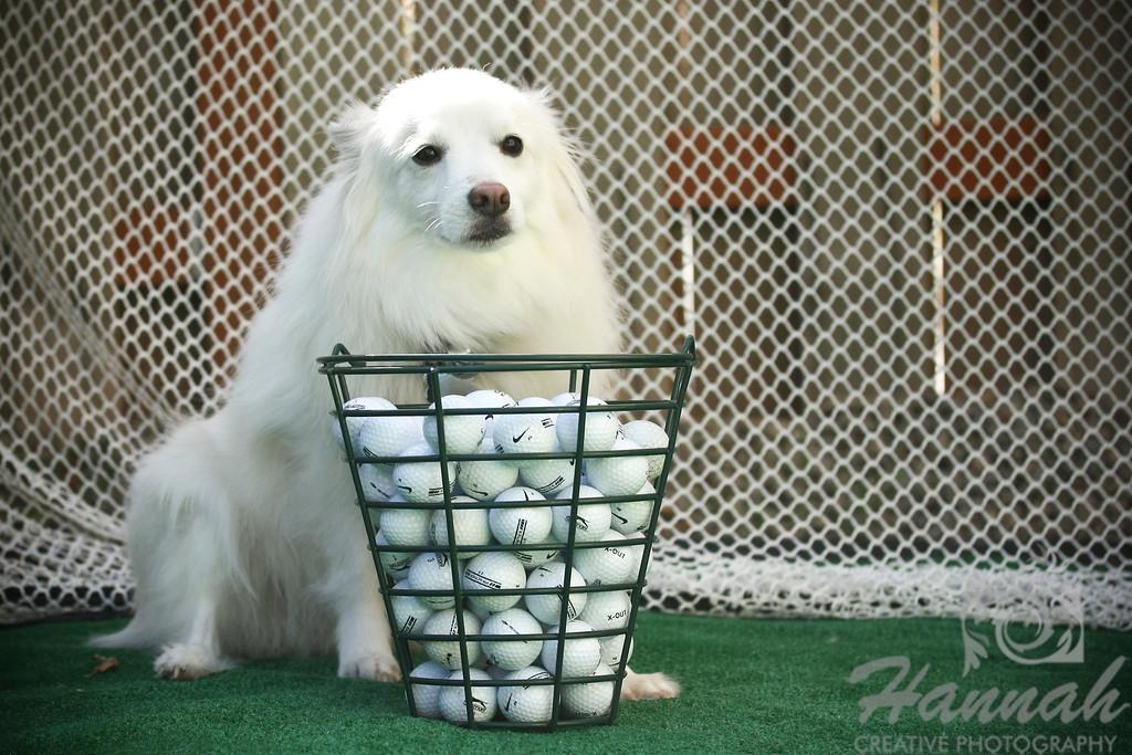 An American Eskimo Dog named Chabby with a basket of Golf Balls  © Copyright Hannah Pastrana Prieto