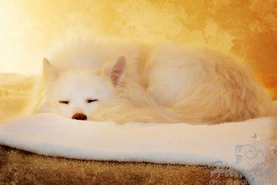 Close-up of an American Eskimo Dog named Chabby sleeping on a bed ..... shot using Lensbaby with Edge 80 optic   © Copyright Hannah Pastrana Prieto