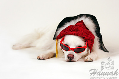 Close-up of an American Eskimo Dog named Chabby with sunglasses and pirate costume on a white background  © Copyright Hannah Pastrana Prieto