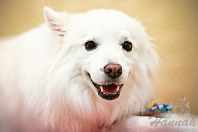 Close-up of a smiling American Eskimo Dog named Chabby   © Copyright Hannah Pastrana Prieto