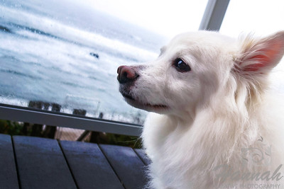 Close-up of a sitting American Eskimo Dog named Chabby looking at the beach  © Copyright Hannah Pastrana Prieto