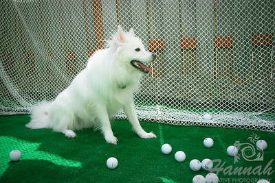 An American Eskimo Dog named Chabby with Golf Balls  © Copyright Hannah Pastrana Prieto