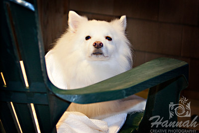 An American Eskimo Dog named Chabby relaxing on a green Adirondack chair at a beach house  © Copyright Hannah Pastrana Prieto