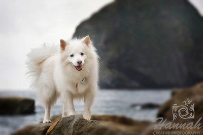 A smiling American Eskimo dog named Chabby at the tide pools of Cape Kiwanda in the Oregon Coast with the background of the Haystack Rock  © Copyright Hannah Pastrana Prieto
