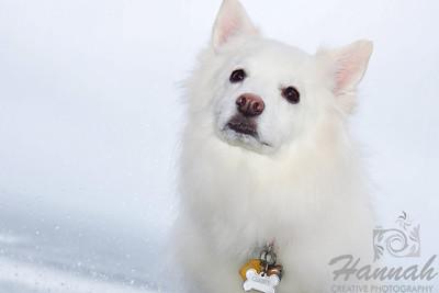 Close-up of an American Eskimo Dog named Chabby   © Copyright Hannah Pastrana Prieto