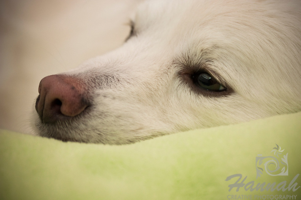 Close-up of the face of an American Eskimo Dog named Chabby  © Copyright Hannah Pastrana Prieto