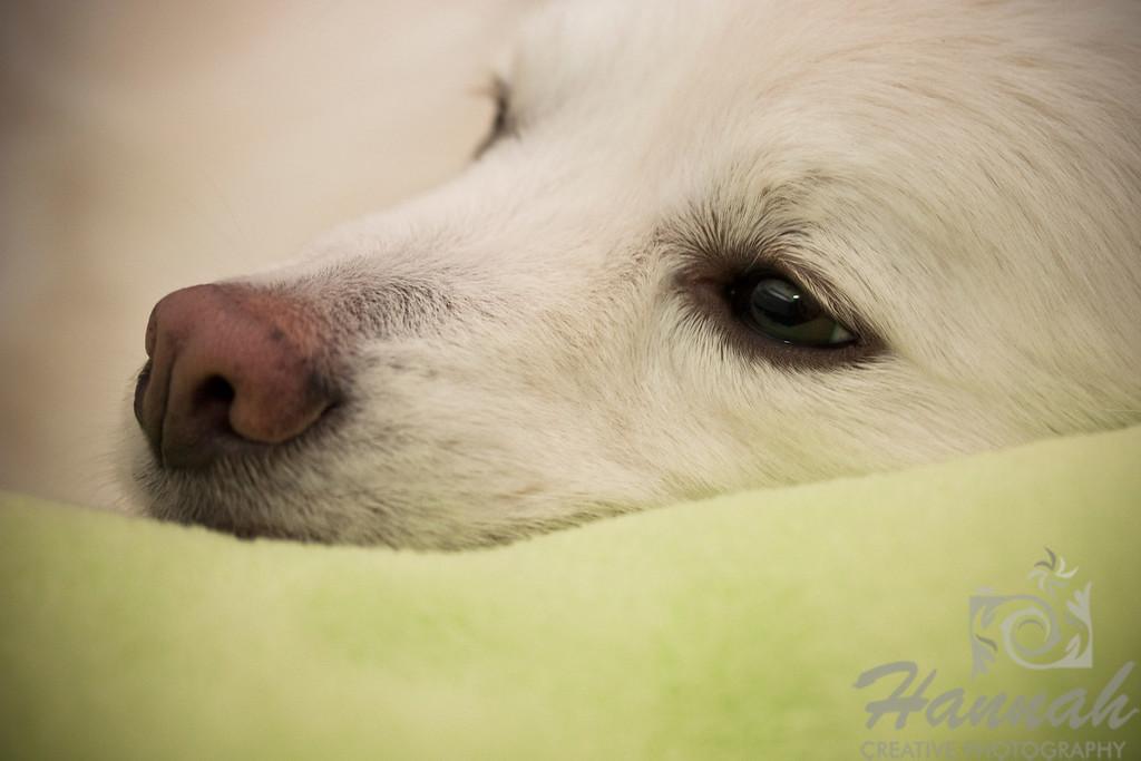 Close-up of the face of an American Eskimo Dog named Chabby  © Copyright Hannah Pastrana Prieto