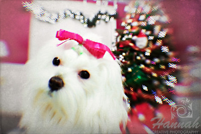 Close-up of a Maltese named Peaches shot during Christmastime. ..... taken with the Lensbaby Composer Pro.  © Copyright Hannah Pastrana Prieto
