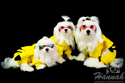 Maltese Pups Wearing Their Cool Pokemon Costume